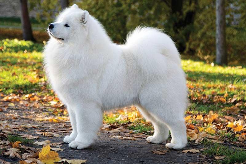 Top 10 giống chó đắt nhất thế giới
