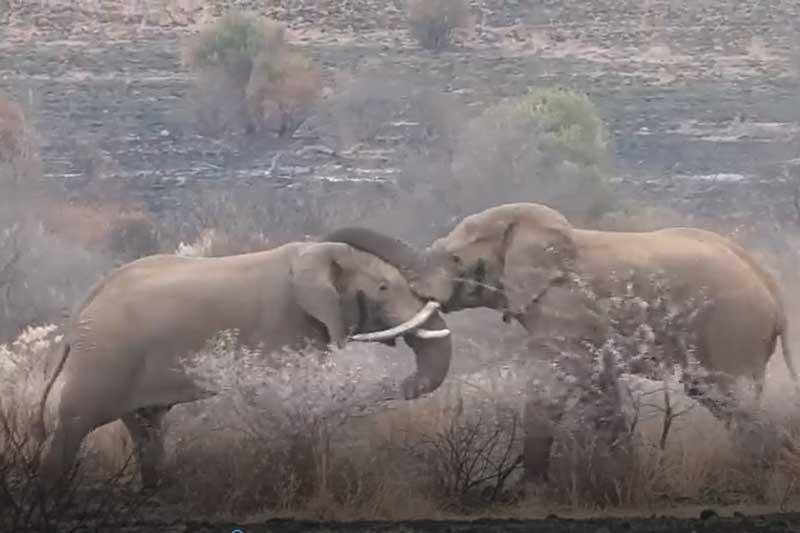 "CLIP: Hai con voi đực tử chiến giành ""quyền lực"""