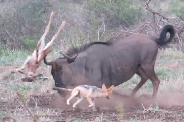 Linh dương đầu bò con bỏ mạng chỉ vì mẹ 'ẩu đoảng' và chó rừng quá tinh ranh