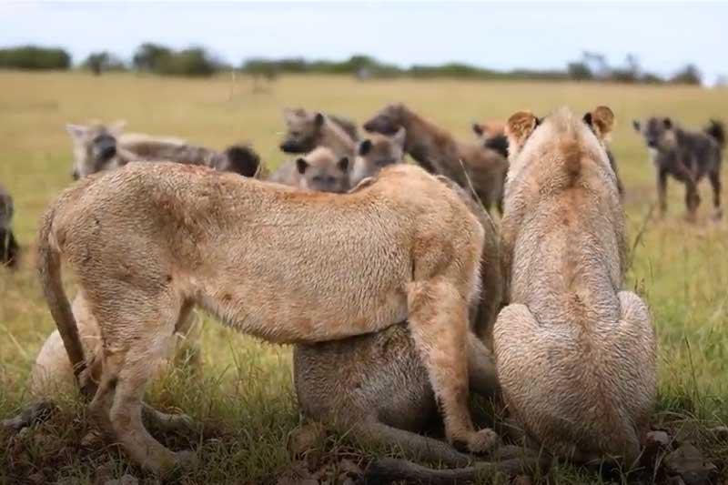 CLIP: 4 con sư tử run rẩy khi đụng độ đàn linh cẩu