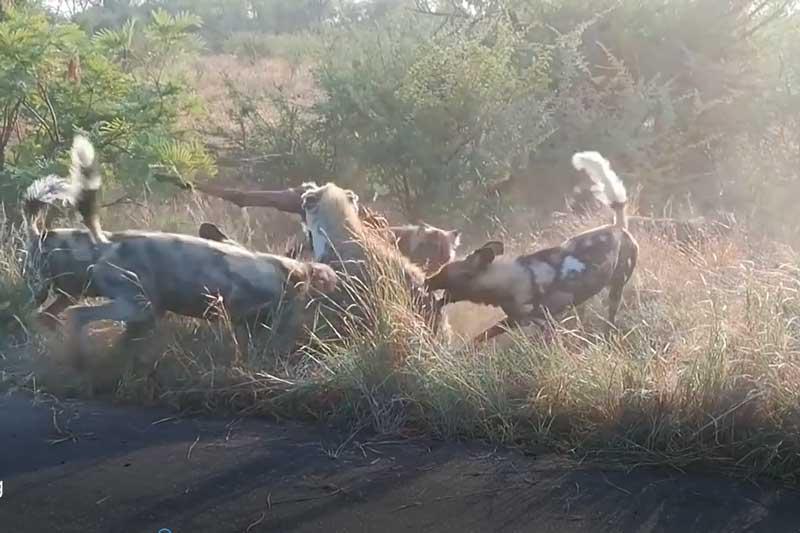 CLIP: Linh cẩu và chó hoang đại chiến giành thức ăn