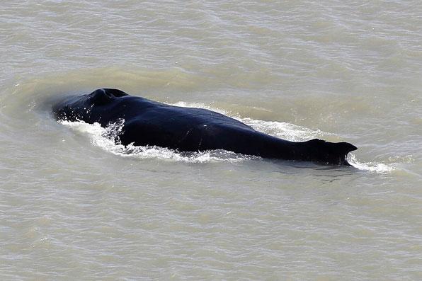 Lần hiếm hoi cá voi lưng gù đi lạc vào lãnh địa cá sấu