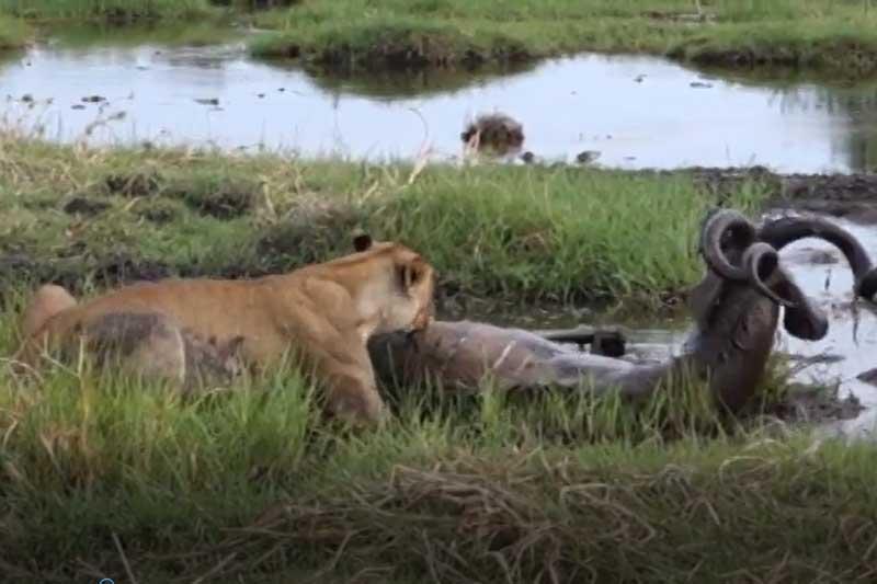 CLIP: Sư tử đoạt mạng linh dương vằn Kudu dễ như 'trở bàn tay'