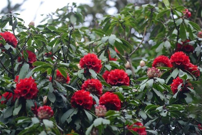 Cây độc: Gia đình có trẻ nhỏ tuyệt đối không được đem hoa Đỗ Quyên về nhà