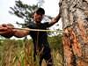 """Lâm Đồng: 50 cây thông ở Vườn Quốc gia Bidoup - Núi Bà bị """"bức tử"""""""