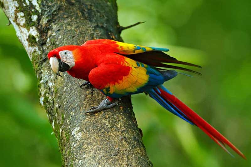 2. Vẹt đỏ đuôi dài.