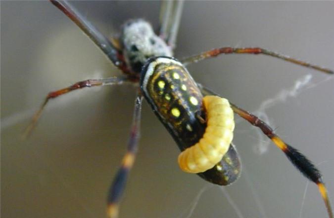 Loài ong vò vẽ Costa Rican điều khiển trí não vật chủ bằng cách tiết ra một chất hóa hoc