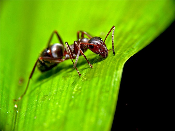 Sau khi bị điều khiển trí não, con kiến bò lên ngọn cỏ chờ bị ăn
