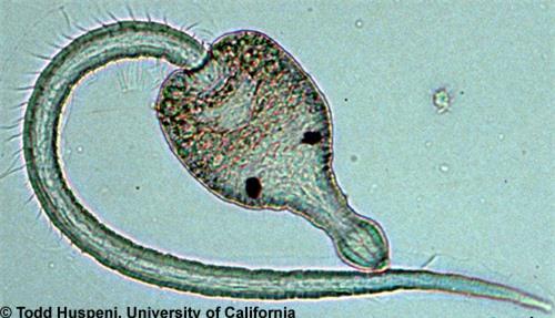 Sán Euhaplorchis californiensis điều khiển trí não vá killifish nhờ một loại chất hóa học