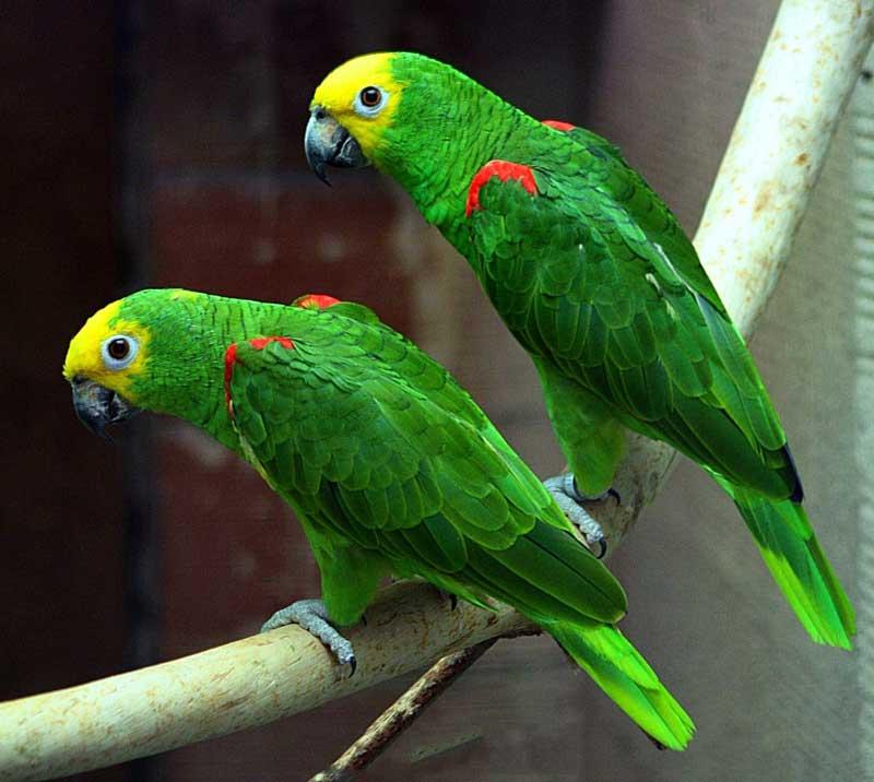 9. Yellow-crowned Amazon.