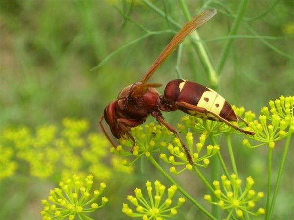 Loài ong kỳ lạ có thể tích điện đồng thời cách điện