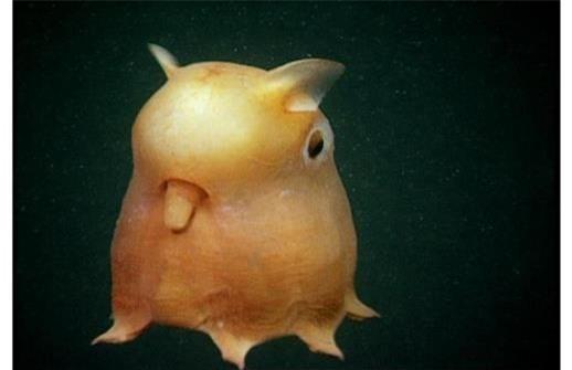 Flapjack Octopus là một trong nhiều khám phá thế giới động vật gây nhiều sự chú ý tới các nhà khoa học