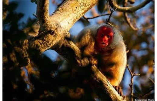 Loài khỉ Bald Uakari nổi bật với mặt lúc nào cũng đỏ bừng