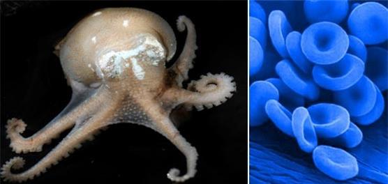 Máu xanh của bạch tuộc giúp chúng thích nghi với mọi điều kiện khí hậu