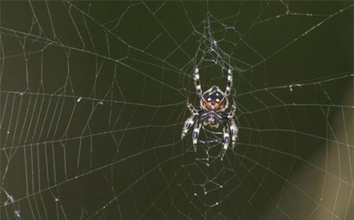 Mạng nhện siêu khồng lồ có thể lên tới 25m