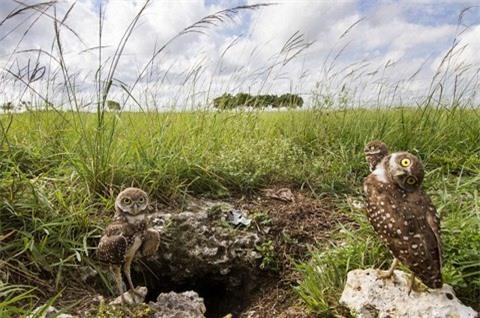 Loài cú này là một hiện tượng bí ẩn khi sống hoàn toàn dưới đất thay vì trên cây