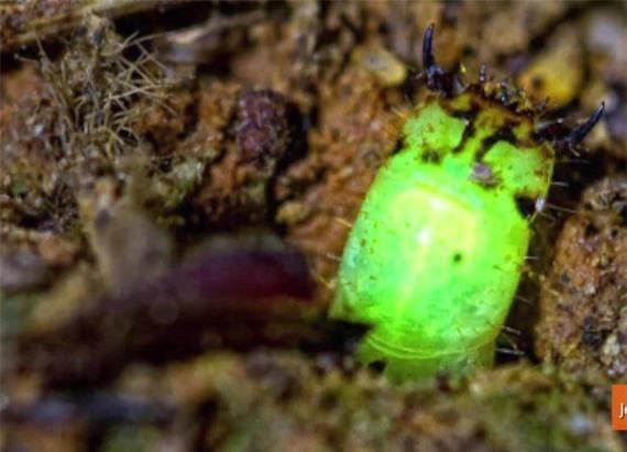 Loài vật kỳ lạ phát sáng giữa rừng mưa nhiệt đới tại Peru