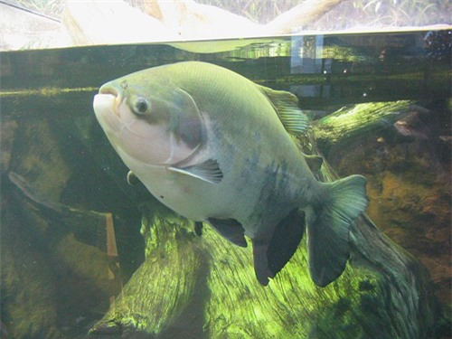 Con cá Pacu, loài cá ăn tạp bản địa tại Brazil,từng ăn tinh hoàn của những ngư dân và người đi bơi