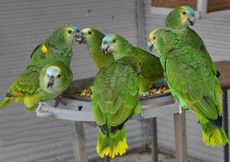 10. Amazon Blue-Fronted.