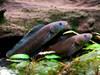 Thích thú loài khỉ dị ứng nước mưa và cá đi bộ trên dãy Himalaya