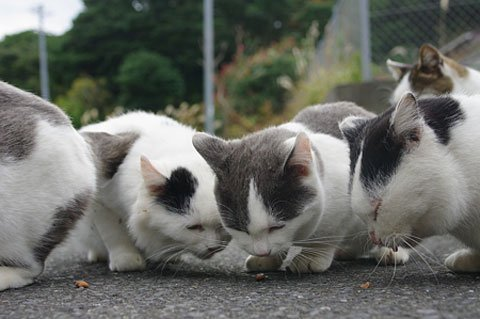 Đảo mèo hoang kỳ lạ ở nước Nhật