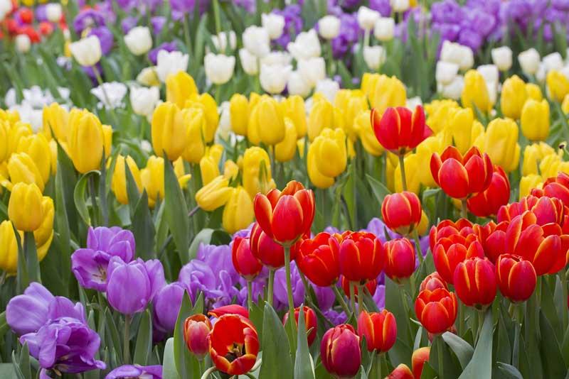 3. Hoa Tulip.