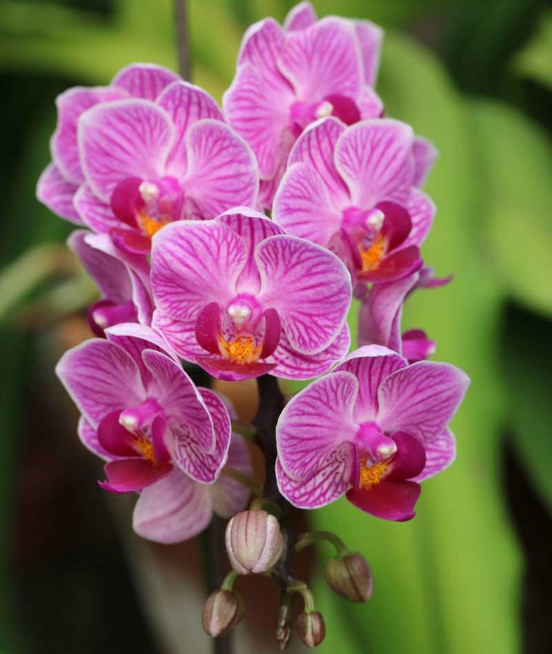 2. Hoa phong lan.