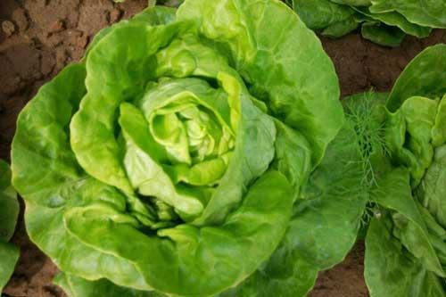 """Loại rau là """"thần dược"""" cho sức khỏe mà ai cũng thờ ơ"""