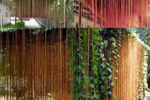 Kỹ thuật trồng cây dây tơ hồng cho hiên nhà mát dịu dàng, chữa bách bệnh