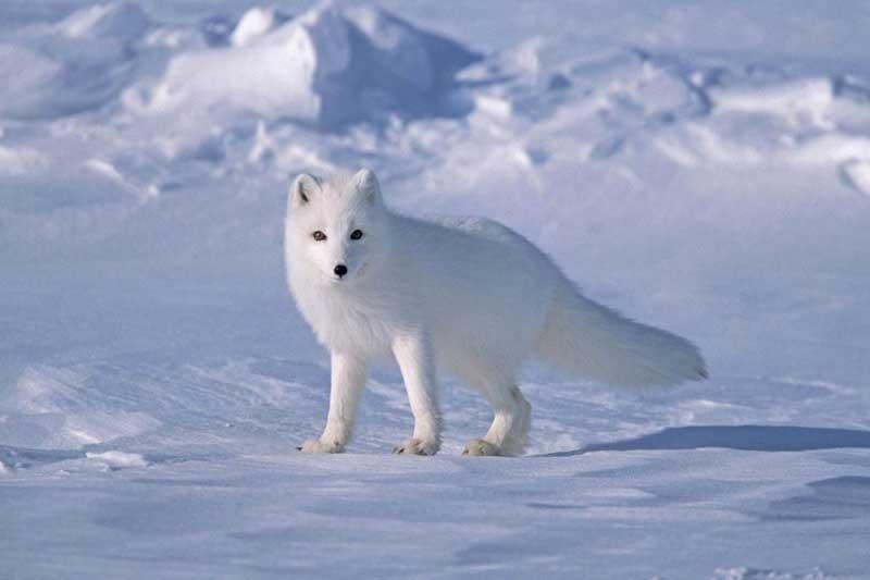 2. Cáo tuyết Bắc Cực.
