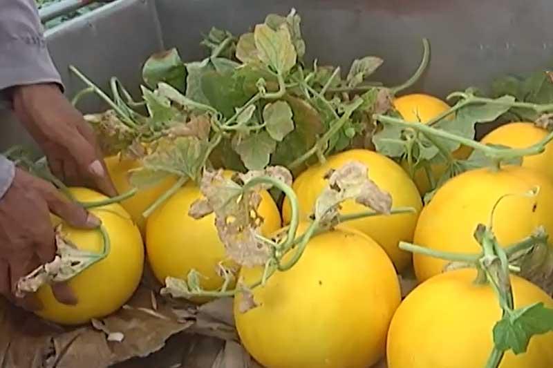Hải Phòng: Nông dân 'lên đời' nhờ trồng dưa vàng theo tiêu chuẩn VietGAP