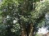 Cây độc: Loài cây 'bị nguyền rủa' trên vùng đất thép Củ Chi, gần trăm năm nhắc tên vẫn sợ hãi