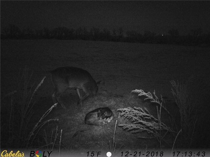 Mặc kệ nguồn góc tổ tiên là sói săn mồi,nàng ngáo husky vẫn bỏ nhà đi hẹn hò với một anh nai đực trưởng thành