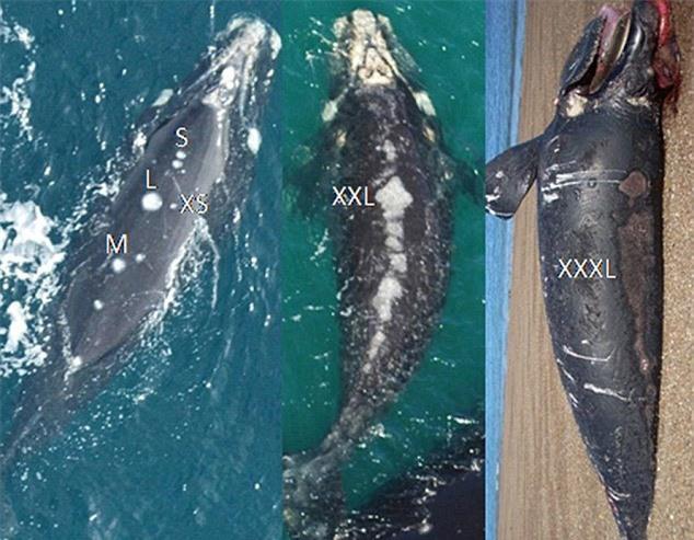 Kinh hãi phát hiện hải âu ăn thịt cá voi sống