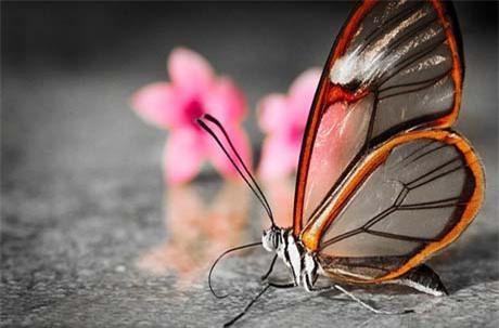 Loài bướm này sở hữu đôi cánh trong suốt