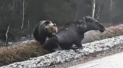 Nai sừng tấm số đen gặp phải gấu nâu khi đang bị thương