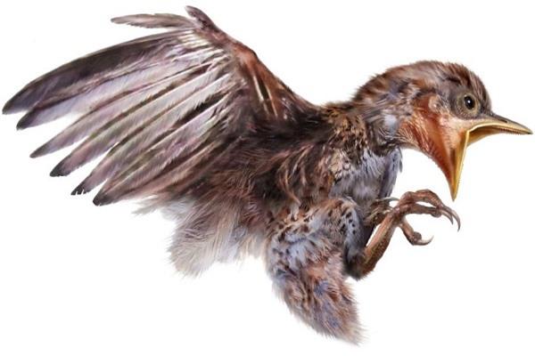 Hình ảnh mô tả lại tư thế của con chim non trong mẫu hóa thạch. Ảnh: National Geographic.