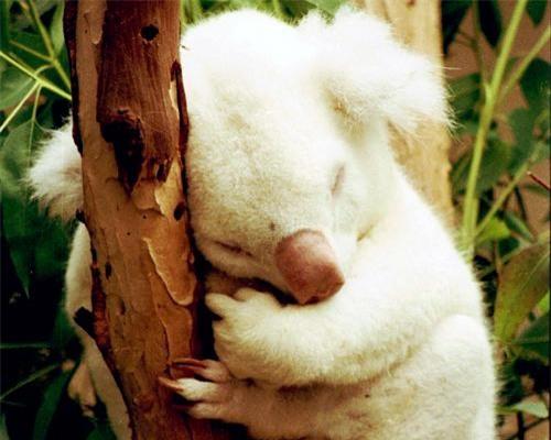 Bạch tạng trên những chú gấu túi là 1 hiện tượng bí ẩn và vô cùng hiếm. Ảnh minh họa