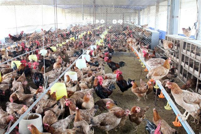 Đối xử nhân đạo với vật nuôi, ngành chăn nuôi phấn đấu vào nhóm tiên tiến vào năm 2030 - Ảnh 2.
