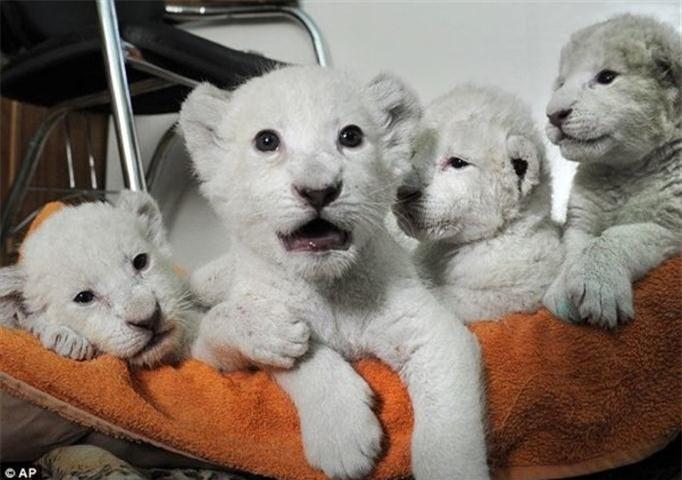 Hiện tượng bí ẩn giảm sắc tố làm những chú sư tử con trông đáng yêu hơn hẳn