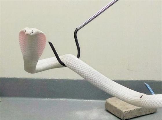 Không hẳn là đáng yêu nhưng chú rắn trắng này cũng thu hút được không ít sự chú ý