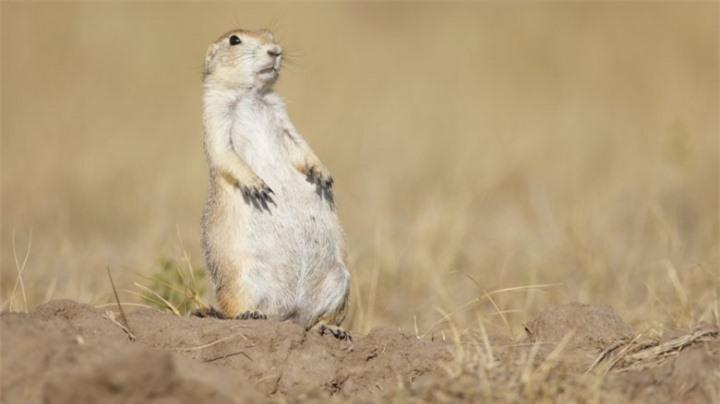 prairie-dogs-have-language-1543942712