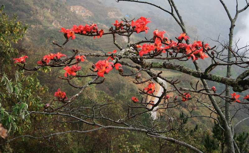 Cây hoa gạo là biểu trưng cho vùng nông thôn các tỉnh miền Bắc.