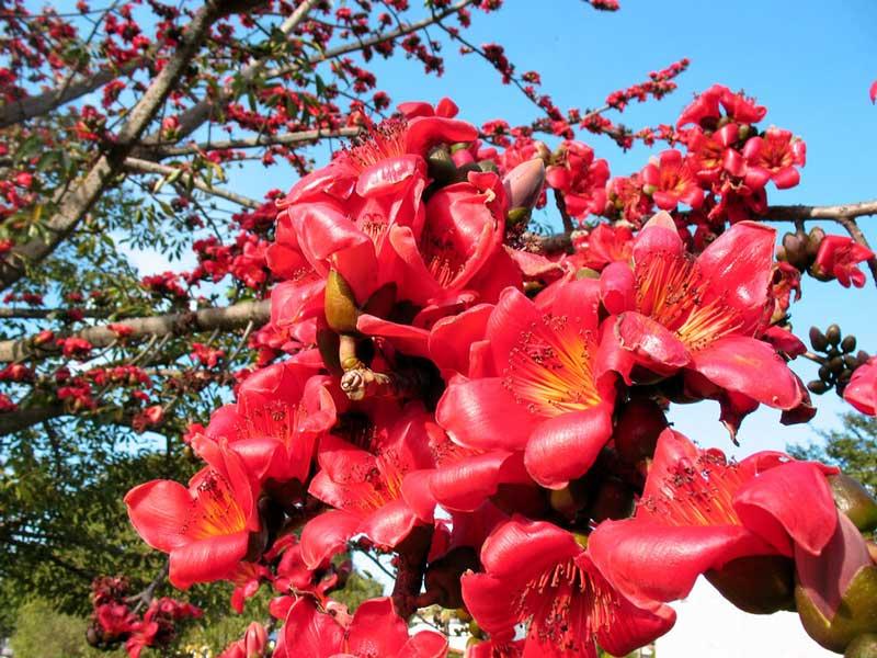 Hoa của cây gạo có màu đỏ rực rỡ, bông hoa kích thước lớn mỗi bông gồm 5 cánh hoa xòe rộng. Cánh hoa dày và to.