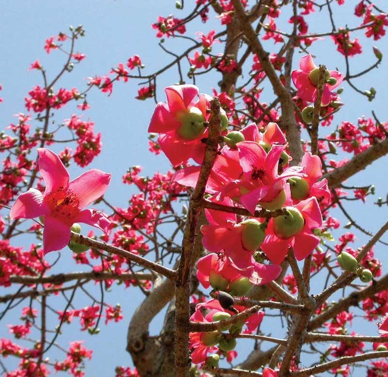 Ở Việt Nam, cây được trồng nhiều ở công viên, đường phố, vỉa hè, đền, chùa, đình…