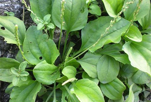 Kỹ thuật trồng cây Mã đề làm thuốc chữa nhiều bệnh tại nhà cực tốt. Ảnh minh họa