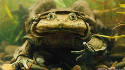 Không có quá nhiều thông tin khoa học ếch Titicaca