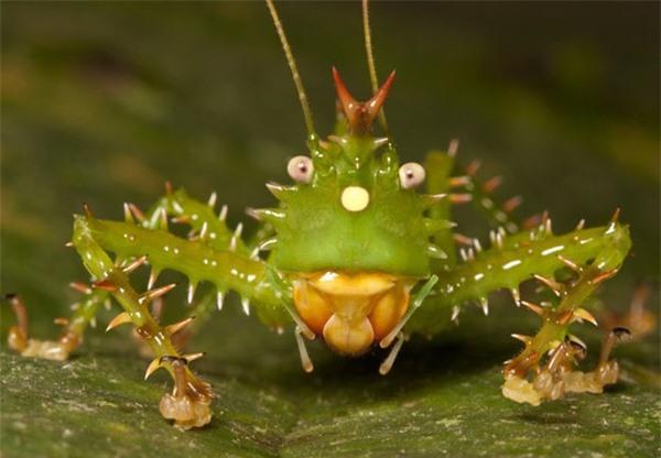 Châu chấu nhím ẩn chứa thông tin khoa học độc đáo về vẻ ngoài kỳ lạ