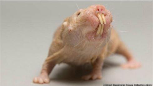 Chuột chũi trụi lông