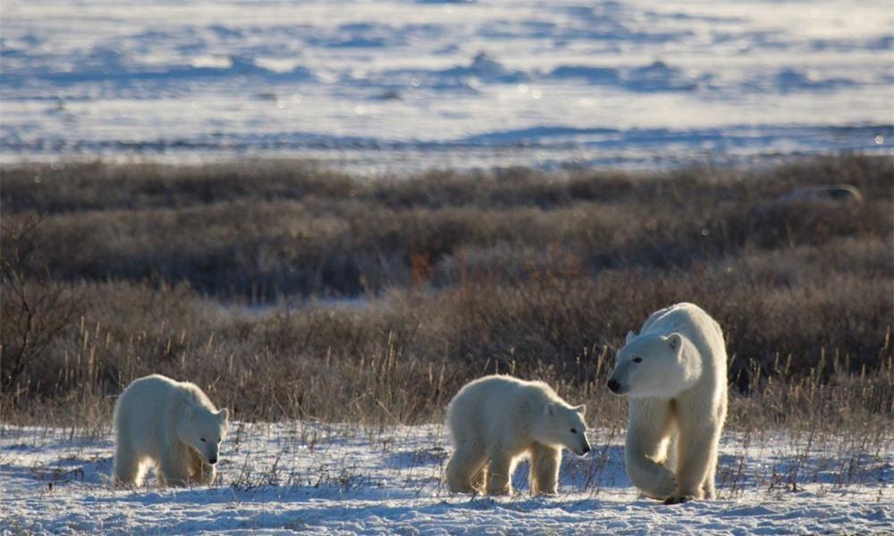 Gấu Bắc cực sẽ biến mất vào năm 2100? - 1